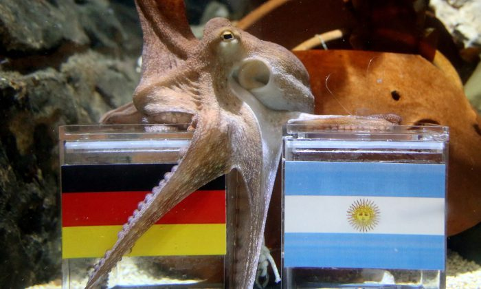 Male octopus 'Kleiner Paul' (Little Paul) embraces with its tentacles a feeding box covered with the German flag (L) next to a box with the Argentinian flag during an oracle event at Sea Life Aquarium in Oberhausen, western Germany on July 11, 2014, a few days ahead of the final match Germany vs Argentina at the FIFA World Cup 2014, to be played in Brazil.  (ROLAND WEIHRAUCH/AFP/Getty Images)