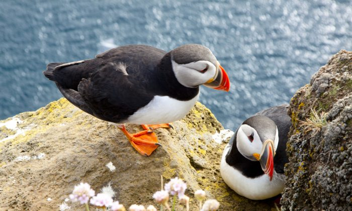 Puffins on the rock - Iceland. (*Shutterstock)