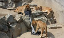 Jeans Designed by Lions and Tigers Are a Win-Win for Zoos