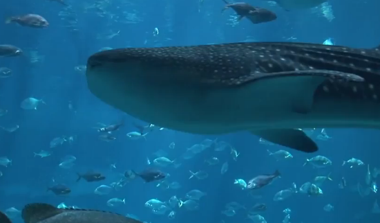 Chinese Fisherman Parades Giant Whale Shark Through Town (Video)