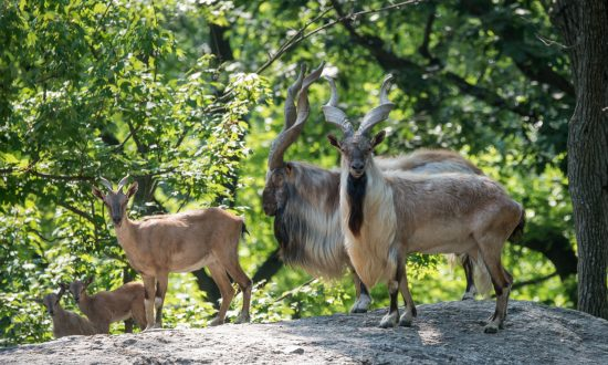 Herd Of Endangered Turkmenian Markhor Added To Bronx Zoo