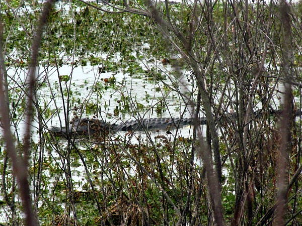 Disney World: Search for 2-Year-Old Boy Dragged by Alligator Now a 'Recovery Effort'
