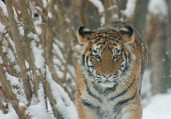 Scientists estimate only around 400 Siberian tigers (Panthera tigris altaica) exist in the wild today. Photo by Derek Ramsey.
