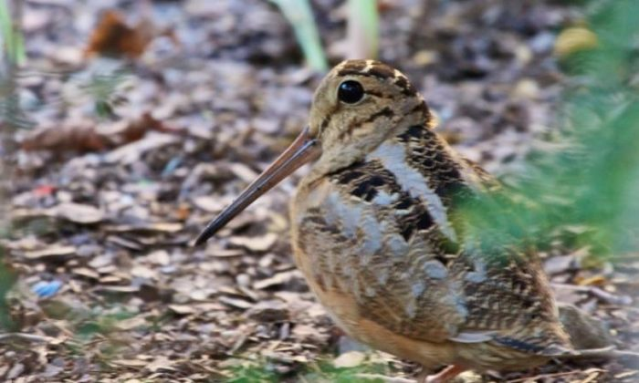The American Woodcock delighted birders in Bryant Park last week with a rare appearance. (Courtesy of Mary Margaret Miller)