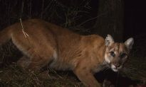 Cougar That Killed Cyclist Likely 'Emaciated,' Says Biologist