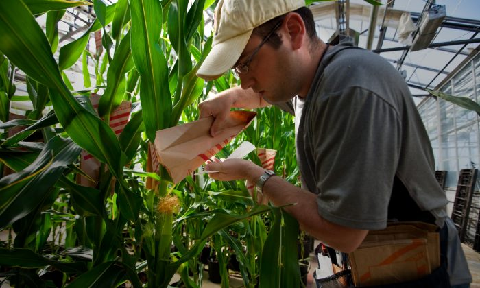 Plant Specialist Dustin McMahon pollinates genetically modified corn plants at Monsanto headquarters in St Louis, Mo., May 21, 2009. Monsanto developed Roundup and Roundup-resistant crops, but weeds developed resistance to Roundup. (Brent Stirton/Getty Images.)