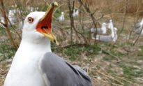 Toxic Gulls: Quebec's Contaminated Bird Colony Offers Clues About Flame Retardants
