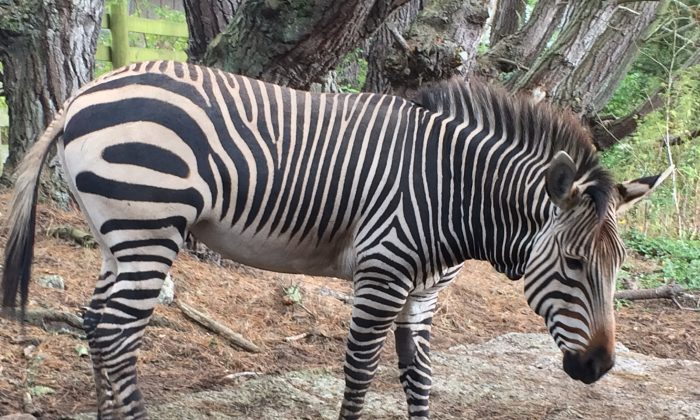 A 7-year-old Hartmann's Mountain zebra (only 6,000 left in world) at the B. Bryan Preserve. (Beverly Mann)