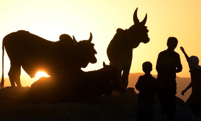 Pakistani Muslim youths stand beside the cattle at an animal market set up for the forthcoming sacrificial Eid Al-Adha festival in Quetta on Oct. 3, 2014. (Banaras Khan/AFP/Getty Images)
