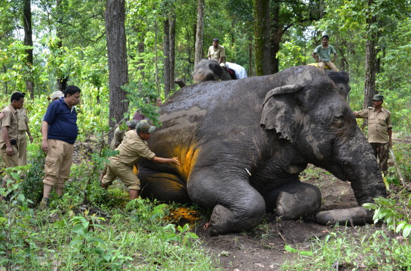 Indian members of the forest elephant squad treat an injured male wild elephant in theTaipu forest under Kurseong division, some 25 kms from Siliguri on July 1,2014. (Diptendu Dutta/AFP/Getty Images)