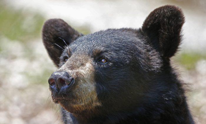 A black bear is seen at the Maine Wildlife Park in New Gloucester, Maine, on July 25, 2014. (AP Photo/Robert F. Bukaty, File)