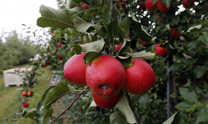 In this Oct. 14, 2014 photo, apples grow on a tree at Samascott Orchards in Kinderhook, N.Y.   Apple growers are tapping into the hard cider revenue stream after sales of hard cider in the U.S. have tripled over the last three years to $1.3 billion in 2013. (AP Photo/Mike Groll)