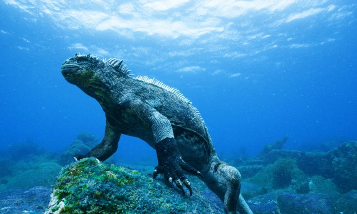 "A marine iguana stands on a rock covered in green algae in a still from ""Galapagos 3D."" (Colossus Productions/nWave Pictures)"