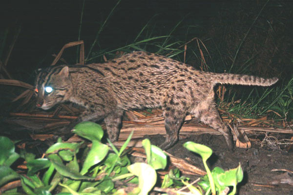 Fishing cat in Thailand. A new issue of Cat News finds that fishing cats and flat-headed cats require the most research and conservation attention of Southeast Asia's smaller cats. Photo by: Passanan Cutter.