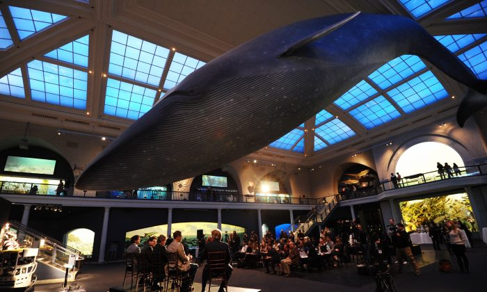 A life-size replica of a blue whale is suspended from the ceiling in the Milstein Hall of Ocean Life during a press conference at the American Museum of Natural History in New York, February 27, 2014. (Stan Honda/AFP/Getty Image)