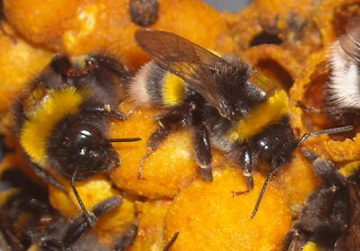 Bees Foraging Hurt By Pesticides