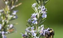 Save Water and Local Pollinators With 'Bee-Friendly' Lawns