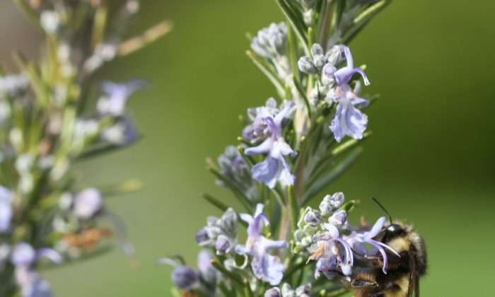 Honeybee numbers are dropping so steeply that some species are believed extinct. Gardeners can help by adding plants that flower both early and late in the season, like rosemary. (Dean Fosdick/AP Photo)