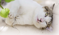 How Catnip Gets Cats High (Video)
