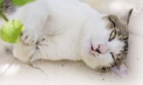 How Catnip Gets Cats High (Video)