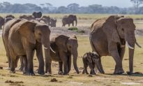 Elephants Know When It's Raining 150 Miles Away, Study Shows