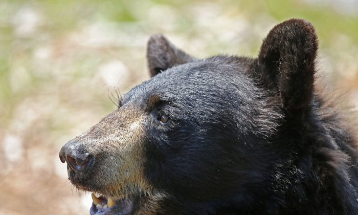 A black bear is seen at the Maine Willdlife Park in New Gloucester, Maine, on July 25, 2014. (AP Photo/Robert F. Bukaty, File)