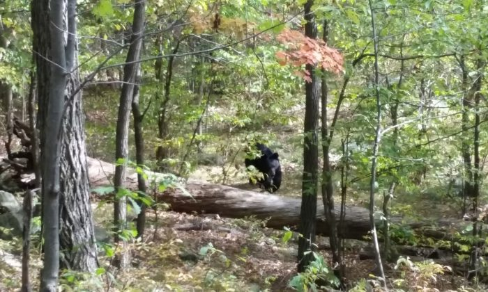 This photo of a black bear taken by 22-year-old hiker Darsh Patel before he was mauled to death by the bear in New Jersey's Apshawa Preserve, on Sept. 21, 2014. (AP Photo/Darsh Patel via West Milford Police Department)