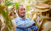 Mold on Corn Can Cause Liver Cancer