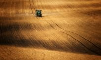 Are You Sensitive to Gluten, or Just Roundup? American Wheat Often Doused With Toxic Herbicide Before Harvest