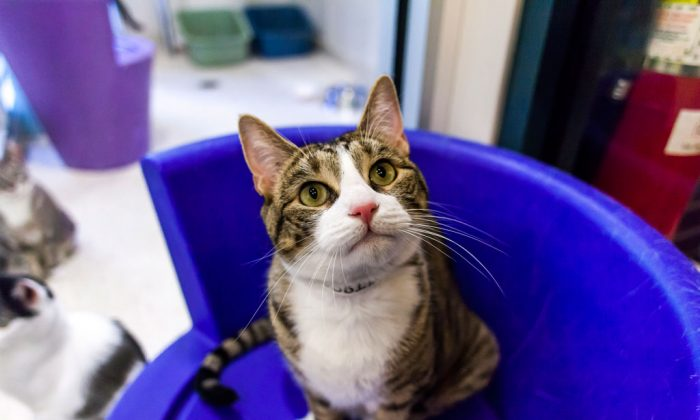"Robbie, a 2-year-old male domestic shorthair tabby with a ""personal assistant"" feline personality, at the ASPCA adoption center in Manhattan, N.Y., on Aug. 28, 2014. (Courtesy of ASPCA)"