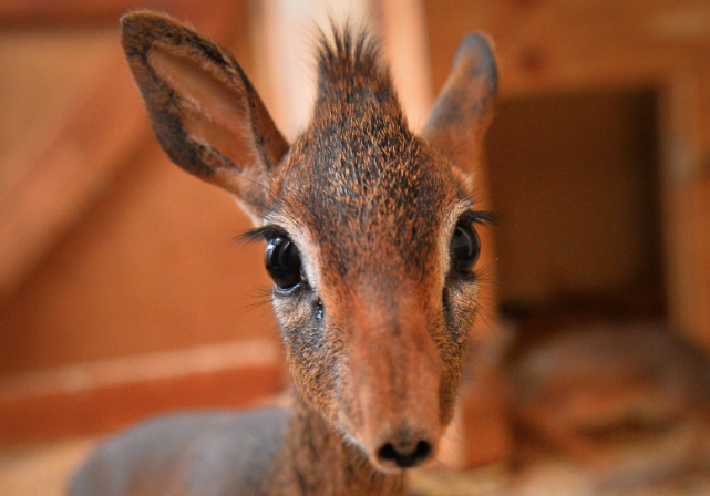 Neo the Dik-Dik miniature antelope