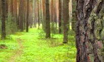 Pine Bark Extract Improves Blood Vessel Health, Heals Psoriasis and Hemorrhoids