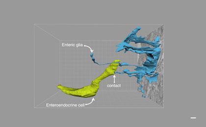Researchers Map Direct Gut-Brain Connection