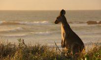 Man Knocked Unconscious After Kangaroo Headbutts Him in Western Australia