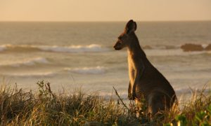 Man Knocked Unconscious After Kangaroo Headbutts Him in Western Australia