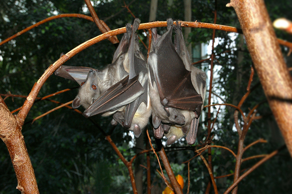 (File) Straw-colored fruit bat (Eidolon helvum) at the Zoological Garden Berlin, Germany. This species, along with other fruit bats, is present in the Ebola impacted area and may have been a carrier. Photo by: Fritz Geller-Grimm/Creative Commons 2.5.
