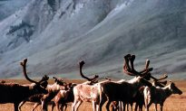 12.28 Million Acres of Arctic Wilderness Should Be Protected, Says Obama Administration