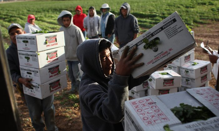 Mexican migrant workers load boxes of organic cilantro during the fall harvest at Grant Family Farms on October 11, 2011 in Wellington, Colorado. (Photo by John Moore/Getty Images)