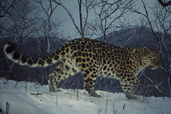 Sublime Silence: In Praise of a Necessary Predator, the Leopard
