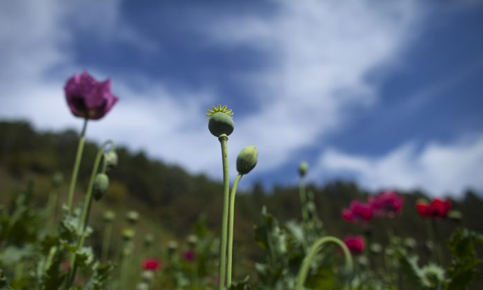 Heroin is cheaper than oxycontin and overdoses are increasing poppy flowers grow in the sierra madre del sur mountains in guerrero state mexico monday jan 26 2015 mexican heroin has become cheaper and more mightylinksfo Image collections