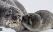 Photo of Seal Pup Kissing Mom Goes Viral (Video)
