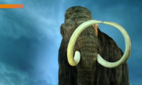 Scientists Add Woolly Mammoth DNA to Elephant Cells (Video)