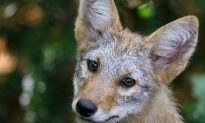 Coyotes in New York City – We Have Nothing to Fear