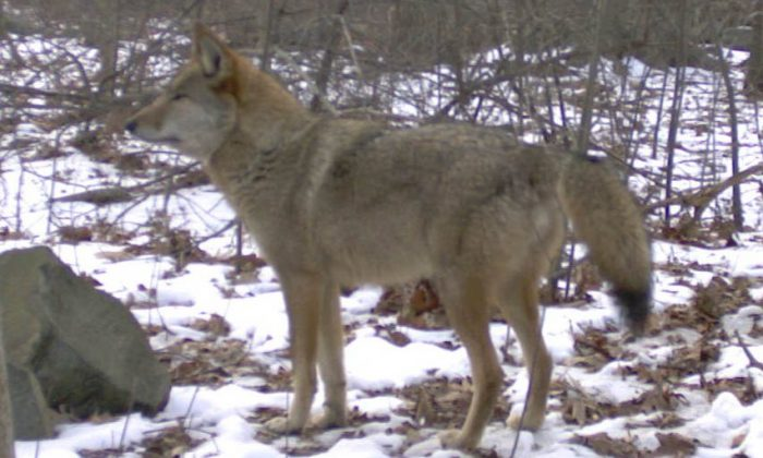 Deaths in 2015 included 68,905 coyotes 731 bobcats, 480 bears, 385 wolves and 284 mountain lions. (Mark Weckell/Gotham Coyote Project)