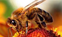 Common Metal Addles Honey Bee Brains