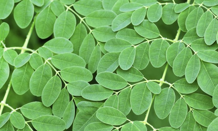 The small, round leaves of the moringa tree are packed with nutrients. (iStock/bdspn)