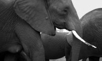 The Colossus of Existence: Why the Elephant Is Invaluable