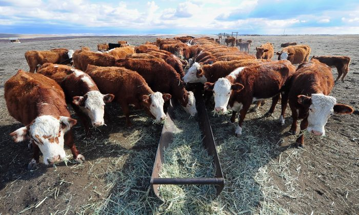 Beef prices in the United States, already at a historic high after rising nearly 20 percent over the last year, are projected to rise even more this year. (Frederic J. Brown/AFP/Getty Images)