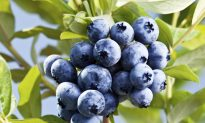 Blueberries for Severe Trauma