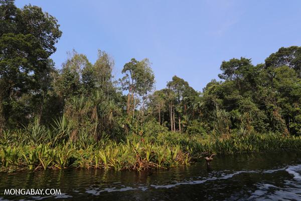 Peat swamp in Riau Sumatra Indonesia. Photo by Rhett A. Butler.